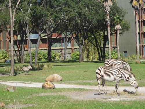 Baby zebras gotta run