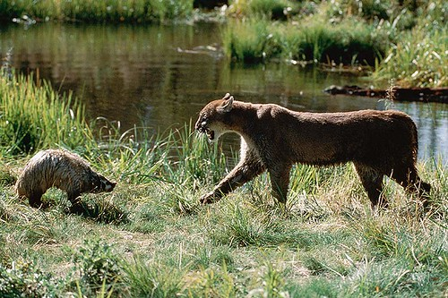 Wildlife in British Columbia, Canada: Cougar