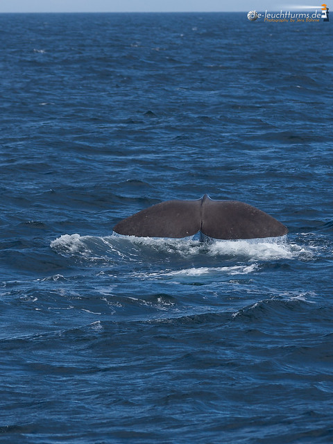 Spermwhale is diving now