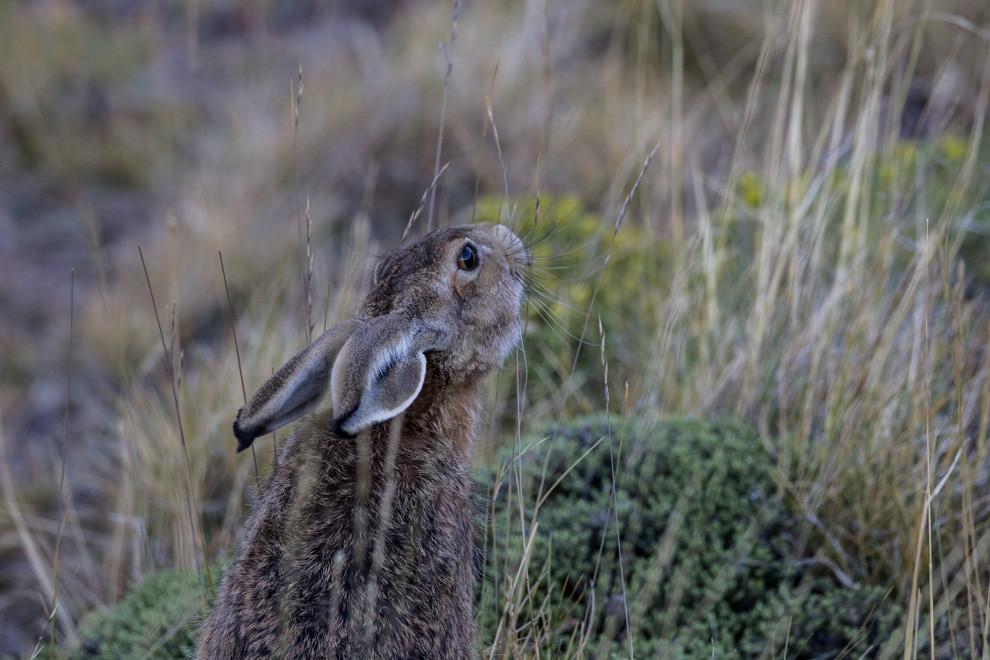 Una liebre de gran tamaño busca alimento en el árido paisaje del Cerro Huyliche, en las afueras de la Ciudad de El Calafate, en la Patagonia Argentina. (Tetsu Espósito).