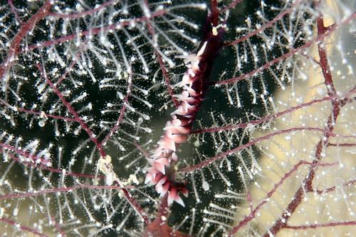 セスジスミゾメミノウミウシ