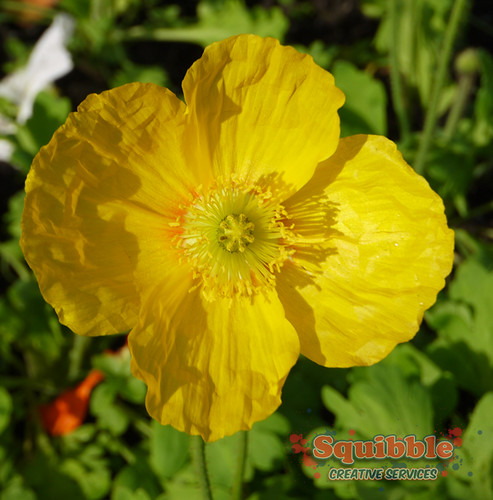 Yellow Poppy Closeup