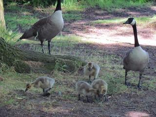 Geese at Green Lake