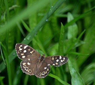 Speckled wood; they pose sometimes