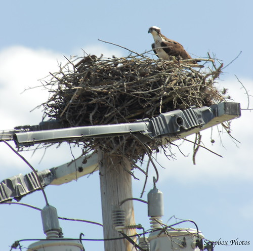 """Osprey Nest Atop a High Energy Electric Pole on Rte. 47"""