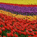 Rolling waves of tulips by Gingercat2008