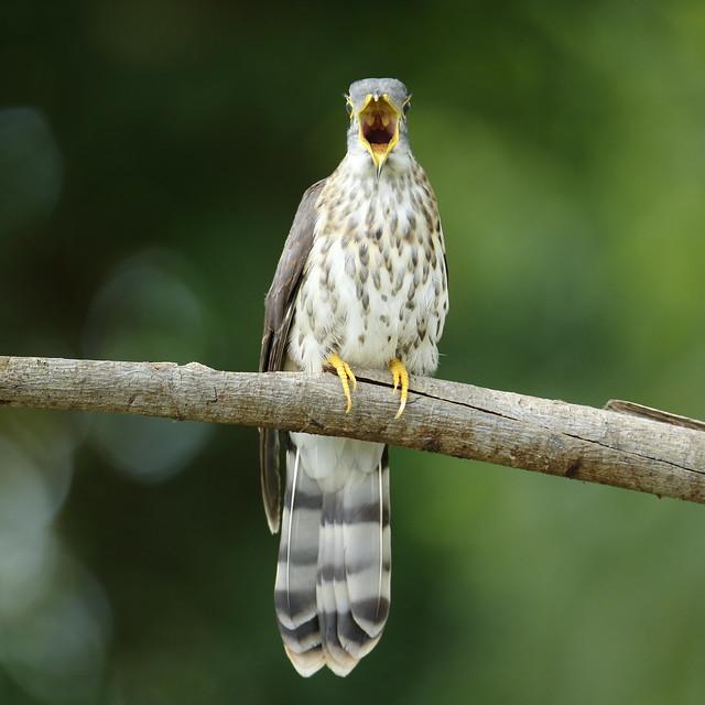 Malaysian Hawk Cuckoo [鹰鹃], Canon EOS-1D X, Sigma 150-600mm f/5-6.3 DG OS HSM | S