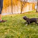 Boston Terrier Puppy barking and showing who is the BOSS