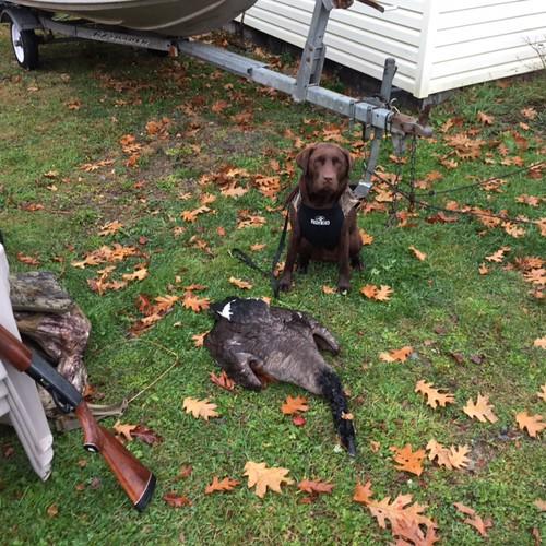 Sadie's first goose retrieve