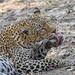 Leopard (female) (2 of 8)