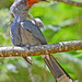 Malabar Grey Hornbill by Anuj Nair