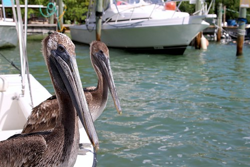 Pelicans in the Keys.