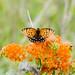 2013 Regal Fritillary Butterfly Tour