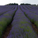 Small photo of Cotswold Lavendar