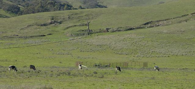 cows grazing, northern california (2013)
