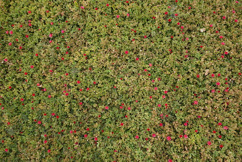 Ornamental ground cover