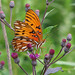 Gulf fritillary in ironweed by Vicki's Nature