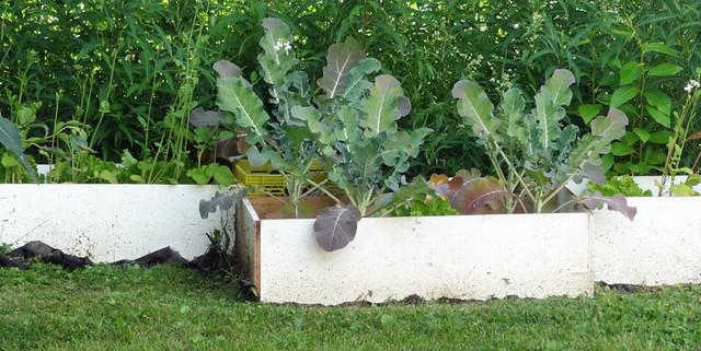 broccoli-growing