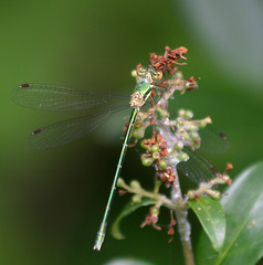 Eastern Willow Spreadwing Montenegro 2012 by davidearlgray