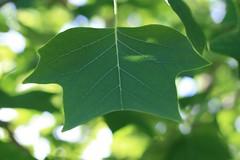 15. Juli 2013 - 18:03 - Blatt eines Tulpenbaum 2013 (Baum ist ca. 14 Jahre alt)