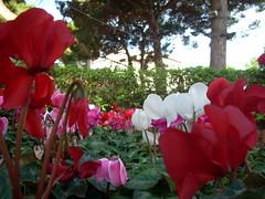 garden roses(0.0), flower(1.0), plant(1.0), flora(1.0), cyclamen(1.0), petal(1.0),