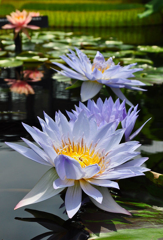 Conservatory - Waterlily Display - Nymphaea 'Marmorata'