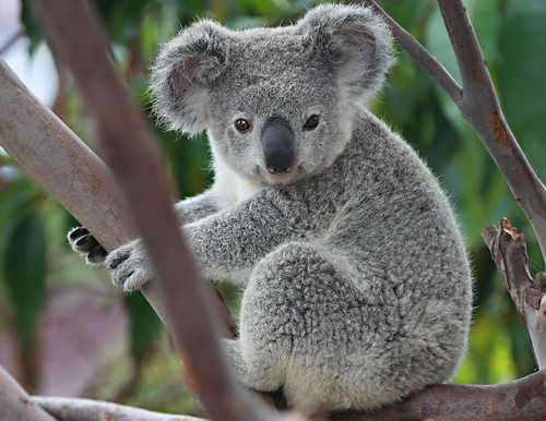 Displaying 17> Images For - Koala Face...