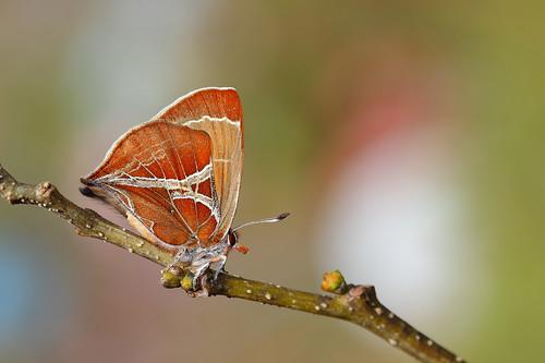平常難得一見的尖灰蝶(歪紋小灰蝶),只要能在棲息地找到其食草合歡,自然就很有機會見到母蝶飛過來產卵。