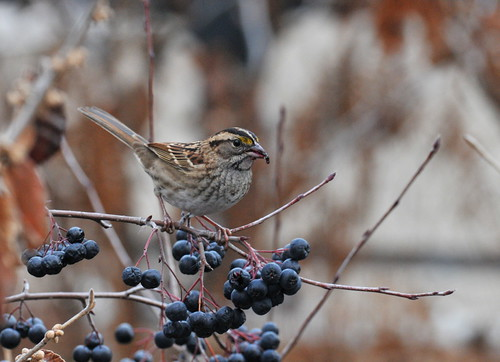 Sparrow Feeding on Berries