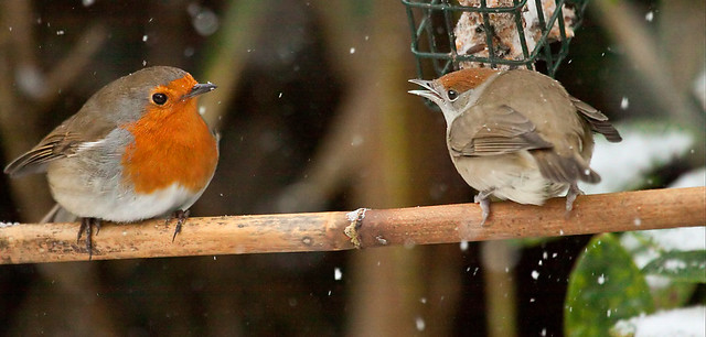 """ LOOKS LIKE THE SNOW HAS ARRIVED"" said Mrs BLACKCAP to Mr ROBIN """