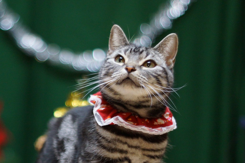 Need unique cat-themed Christmas gifts? Try a homemade collar made of a holiday print like this cute kitty is wearing!