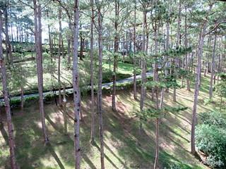 pine-trees-baguio.jpg