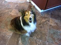 animal, dog, pet, scotch collie, rough collie, collie, carnivoran, shetland sheepdog,