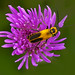 Goldenrod Soldier Beetle - Photo (c) Mark Helm, some rights reserved (CC BY-ND)