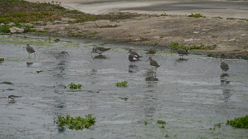 Greater Yellowlegs Flock