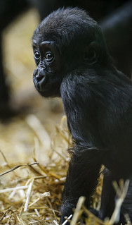 Baby gorilla in the straw