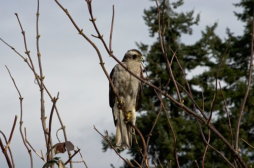 Northern Goshawk on the Hunt