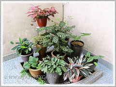 Mainly foliage plants at our courtyard - February 23, 2014