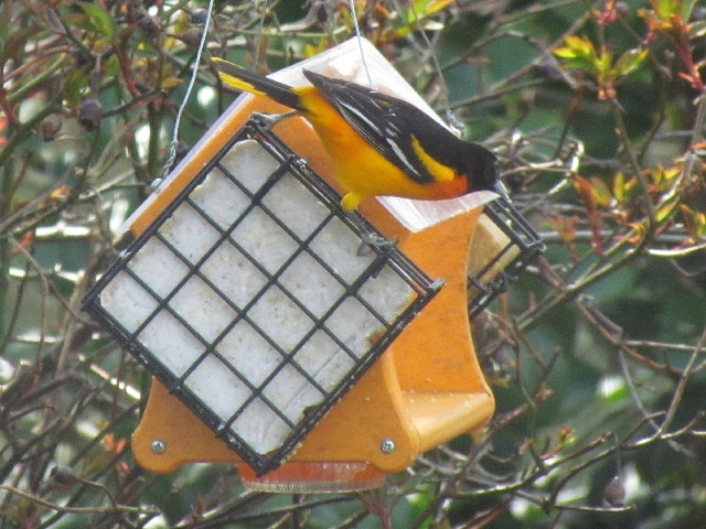 First Baltimore Oriole3 5:2:14