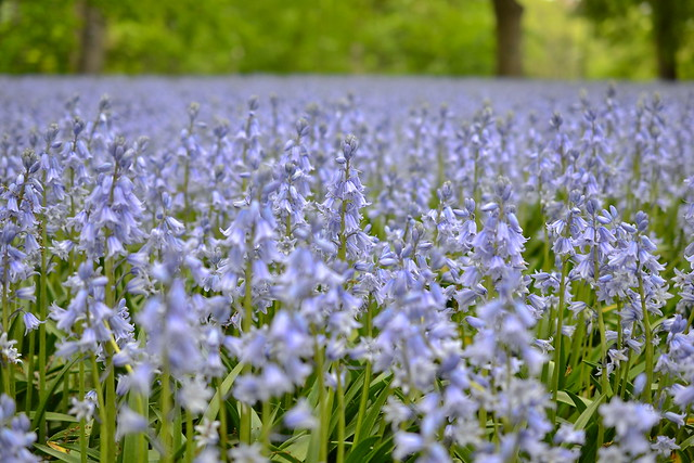 Over 45,000 Hyacinthoides hispanica 'Excelsior' carpet Bluebell Wood. Photo by Morrigan McCarthy.