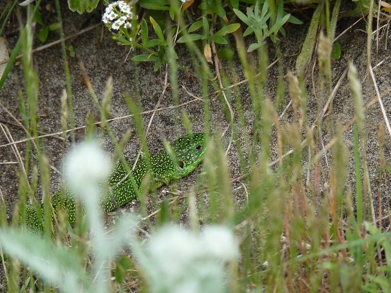 Green Lizard - Dorset