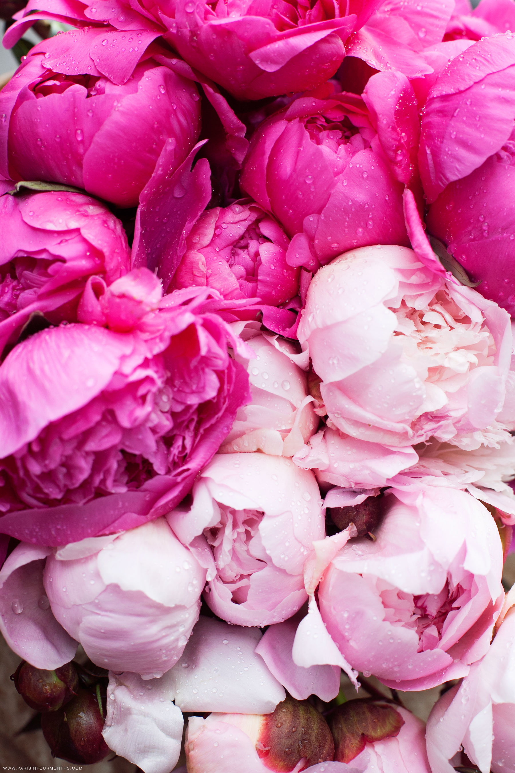 Pink peonies in the rain by Carin Olsson (Paris in Four Months)