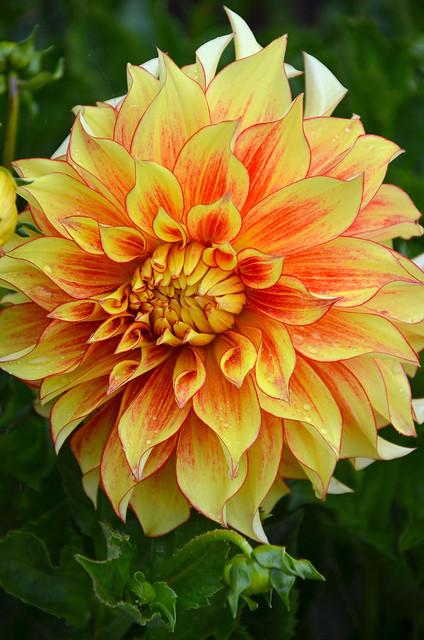 yellow dahlia flower - photo #36
