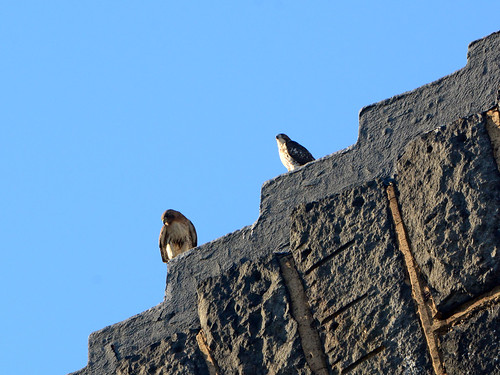 Cathedral Hawk & Fledgling - 3039