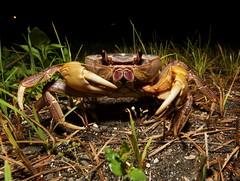 毛足圓盤蟹 (Discoplax hirtipes) (攝於東沙島),相較於其他地蟹類,對於淡水環境的依賴較大。(攝影:施習德)