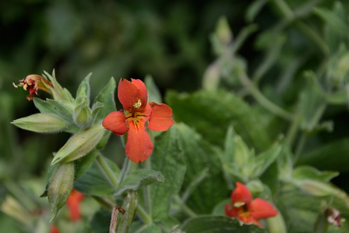 Crimson Monkeyflower