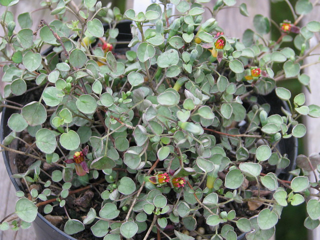 Fuchsia procumbens - reverted Wirral probably