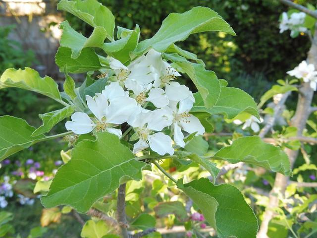 P1030198 Dorsett golden apple blossoms Goleta