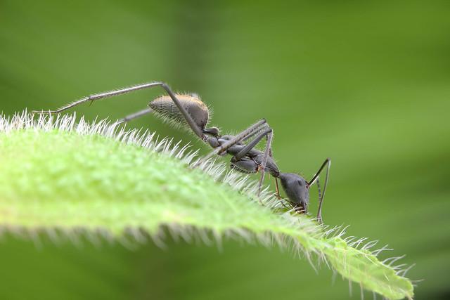 IMG_8572 Camponotus sp.HBBBT!.