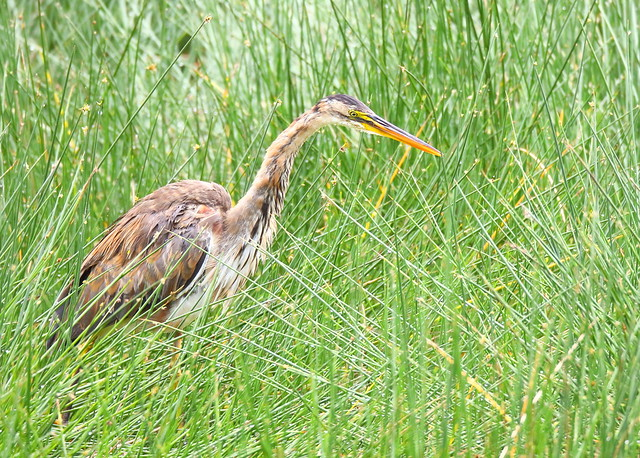 Purple Heron, Canon EOS 7D MARK II, Canon EF 800mm f/5.6L IS